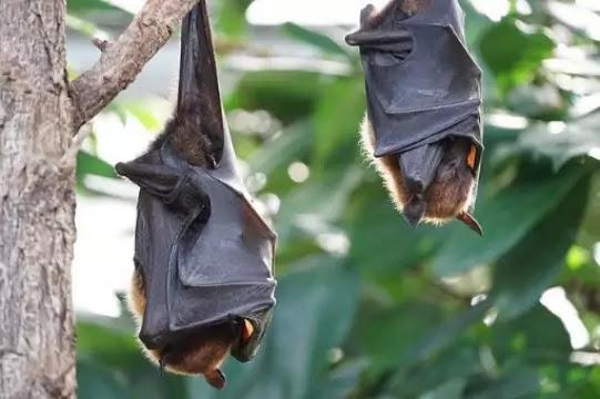 How coronavirus(COVID-19) came into existance, Bats having coronavirus,
