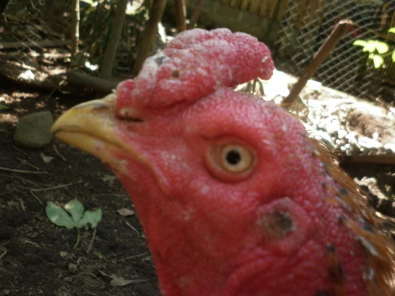 Cara Ampuh Mengobati Korep Pada Ayam