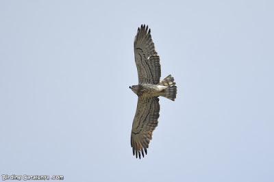 Àguila marcenca a la Val d'Aran