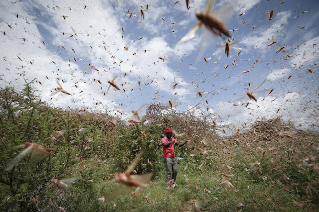Desert locusts in Tigania East, Meru photo
