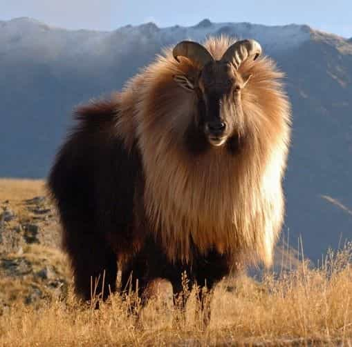 Himalayan Tahr Founded Nanda Devi National Park