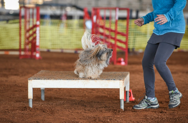 Rocco Havanese dog agility table