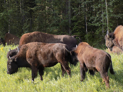 This is Part of the First Bison Herd We Found