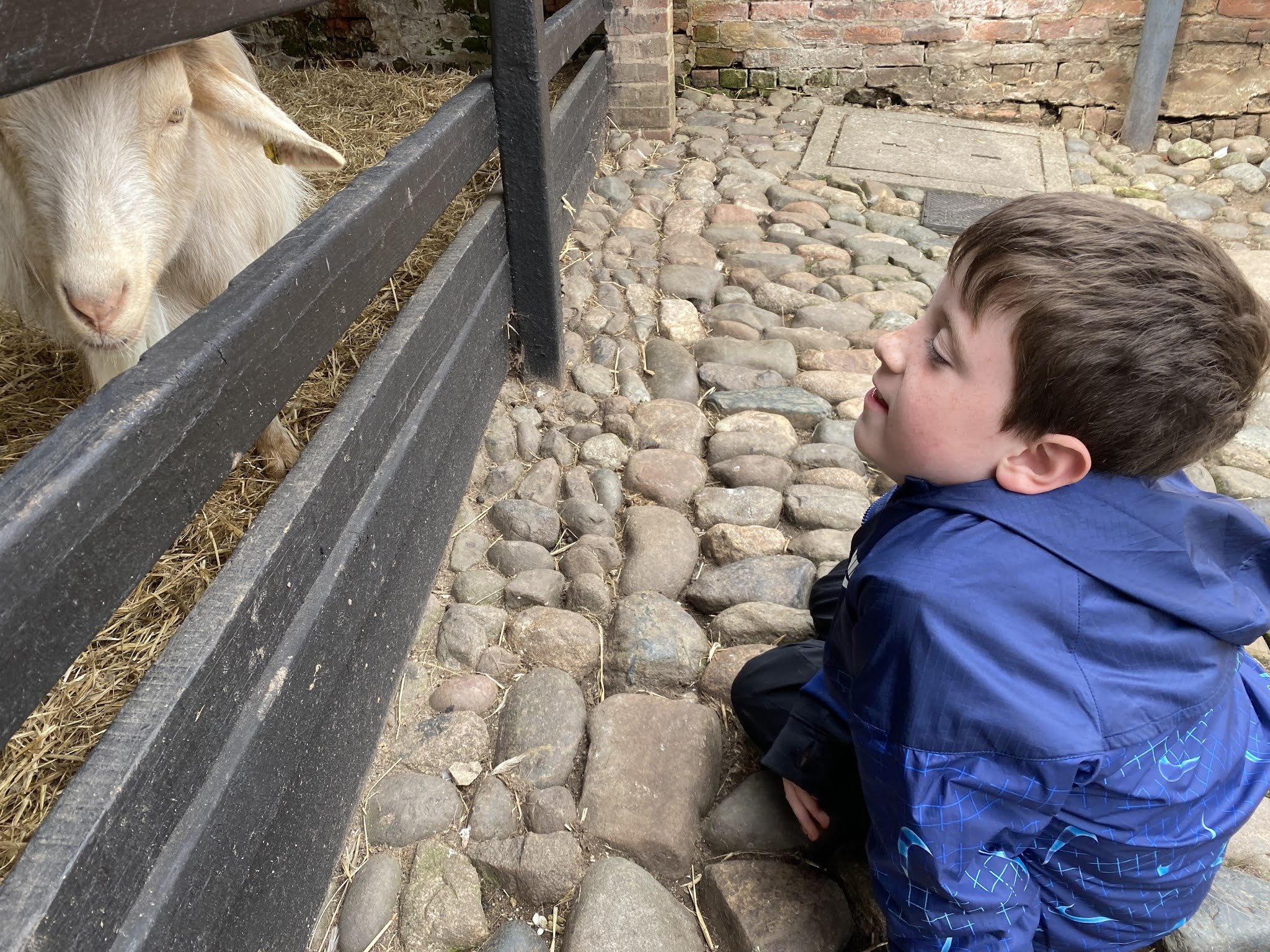 Boy looking at a goat