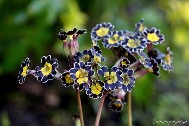 fleur noire coeur jaune