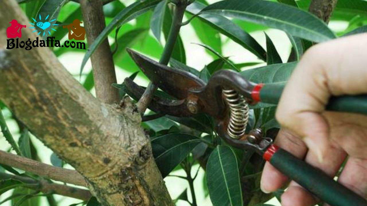 Proses pemangkasan pohon mangga