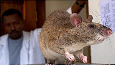 Tikus mampu mendeteksi pasien TB