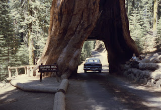 Pohon Unik Wawona Tree California USA