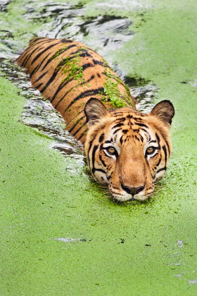 Tiger in Sunderbans 10 Worlds Amazing And Beautiful Forests