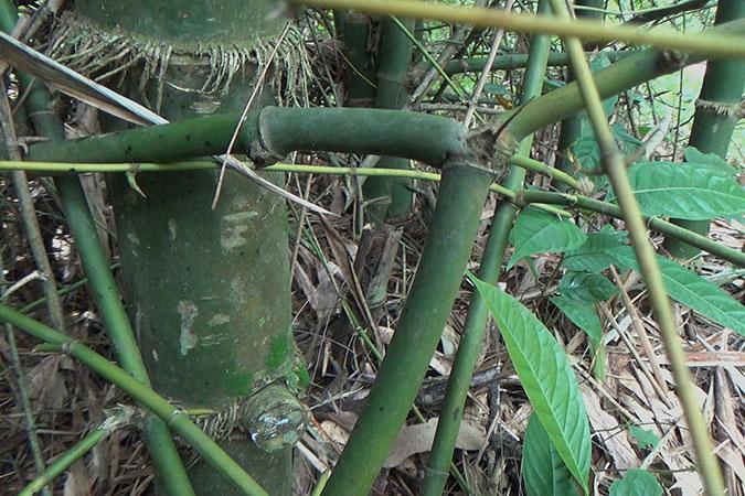 Dlium Duri bamboo (Bambusa blumeana)