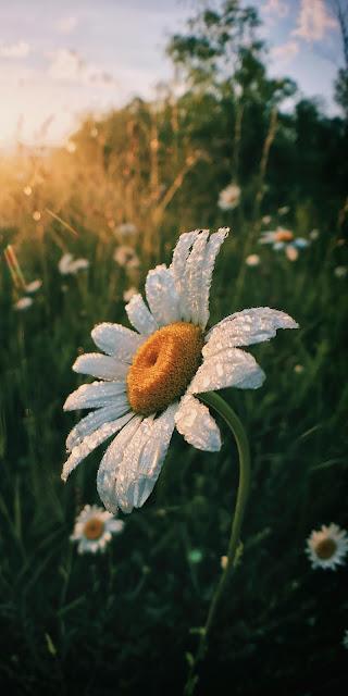 Cánh hoa cúc họa mi giữa ánh nắng ban mai đẹp thơ mộng