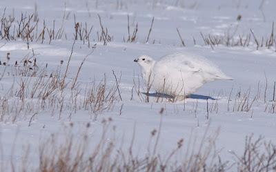 Willow Ptarmigan, winter plumage, Newfoundland