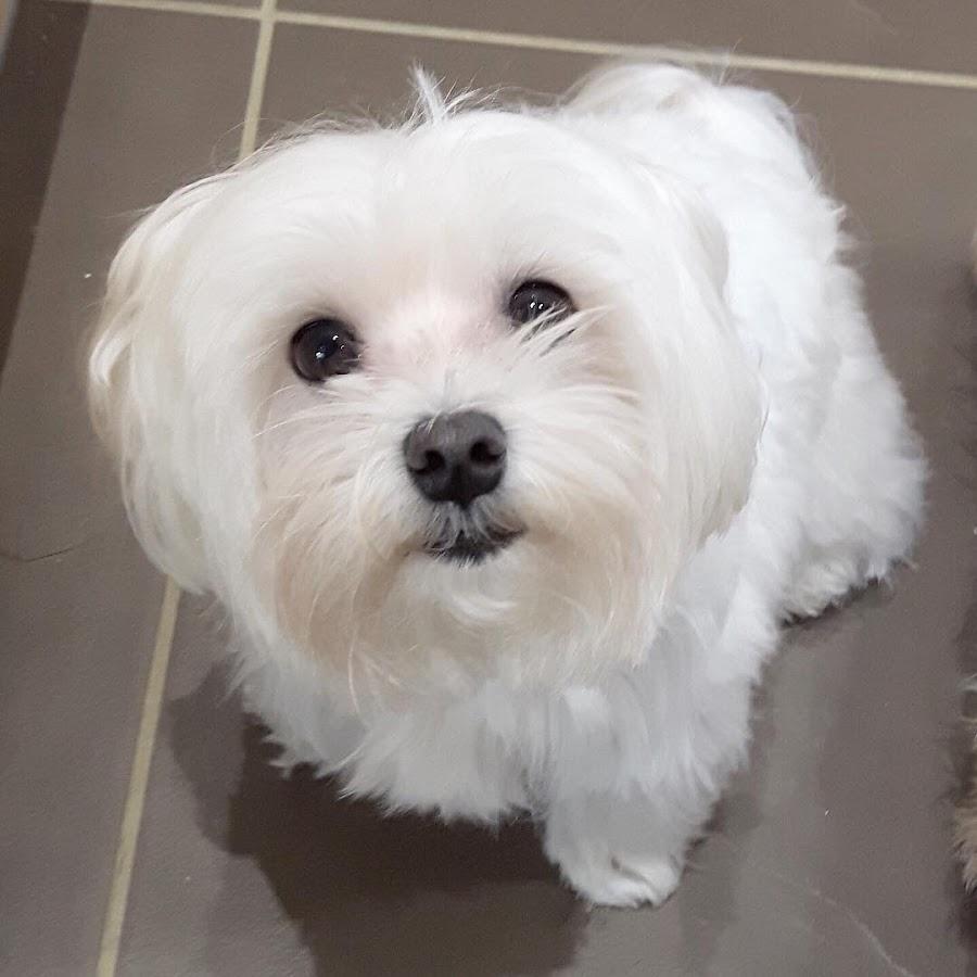 perro maltes limpieza de ojos