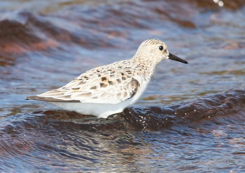 Fly Flatts   Sanderling