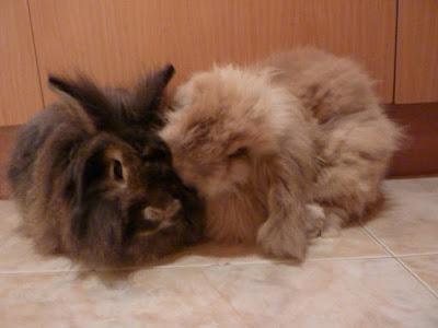 EN ADOPCIÓN: La historia de Rigodón y Baldufa. ANAC. Conejos.
