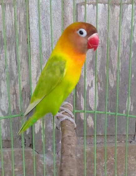 Jenis Lovebird Termahal : jenis, lovebird, termahal, Jenis, Harganya, Termurah, Hingga, Termahal
