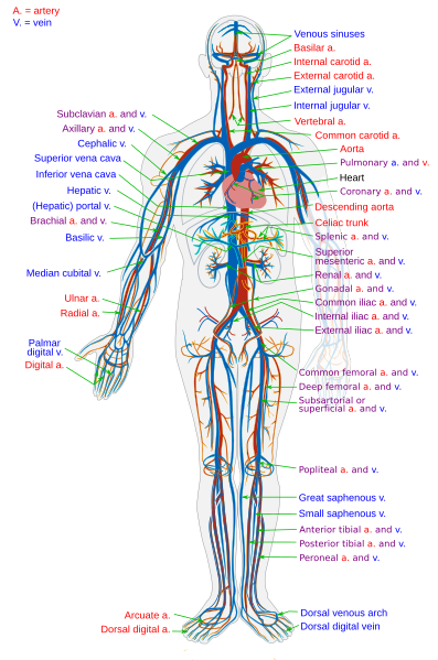 The Circulatory System in the human body