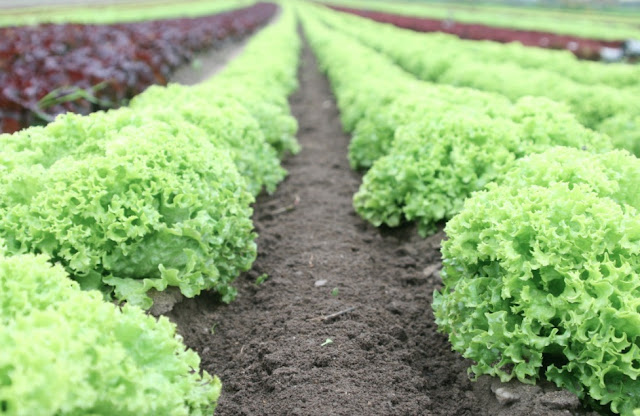 How To Grow Lettuce At Home In Spring