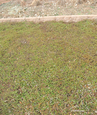 thyme lawn in late winter