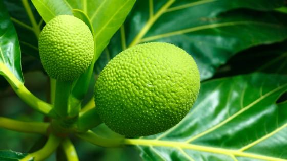 Breadfruit tree in Ghana Africa