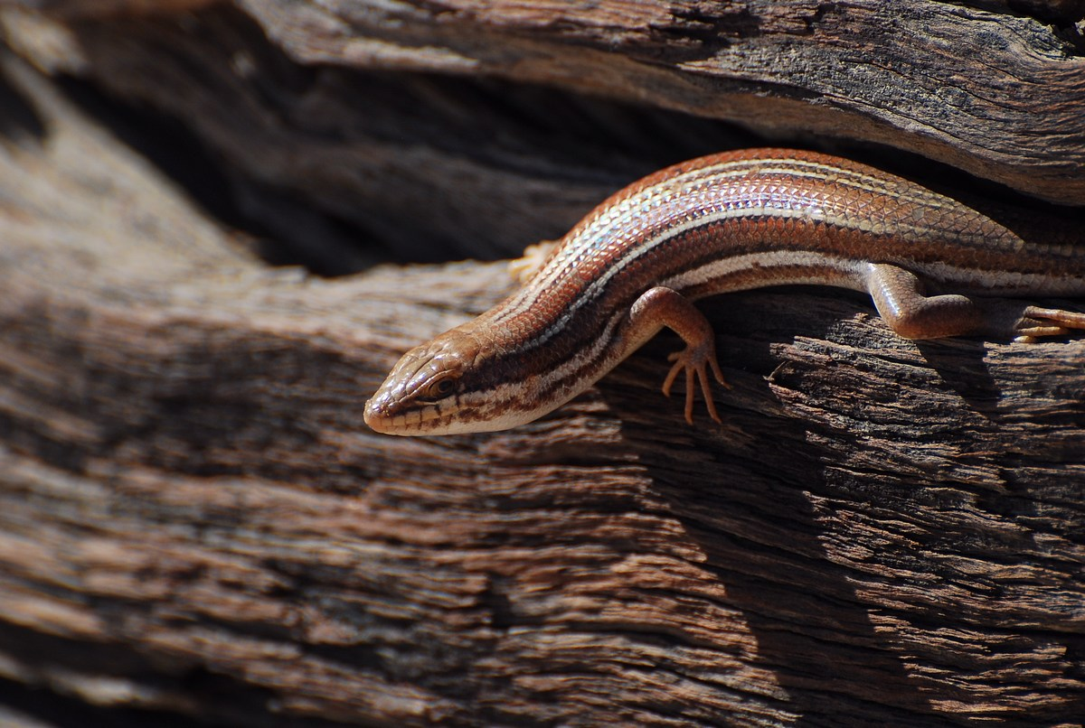 Trachylepis occidentalis