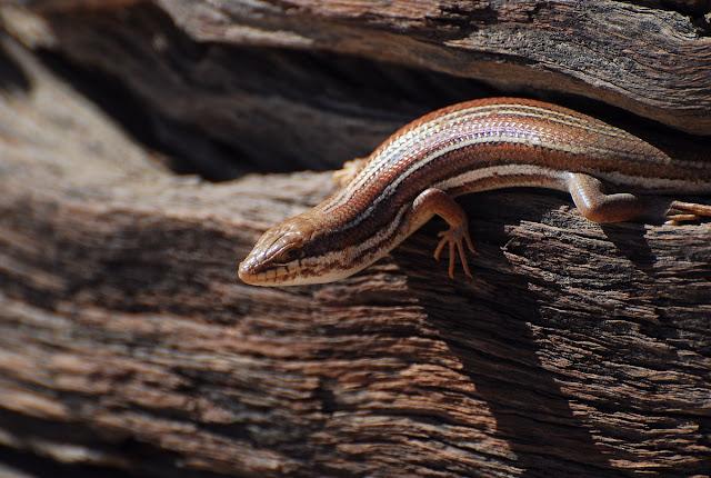Trachylepis occidentalis