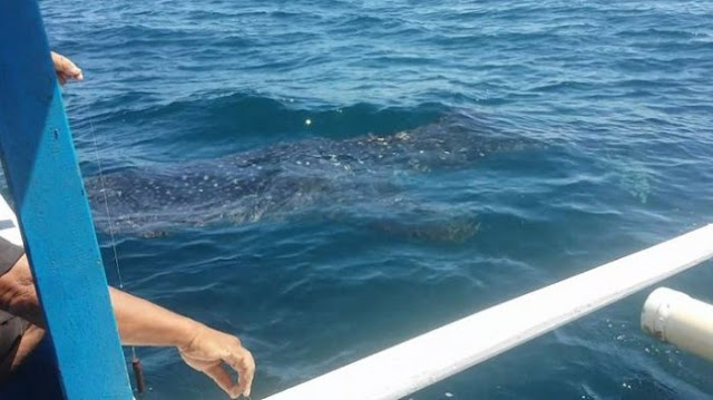 Berenang Bersama Hiu Paus dengan Panjang 8 Meter