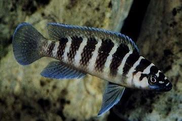 Ikan Convict Cichlid