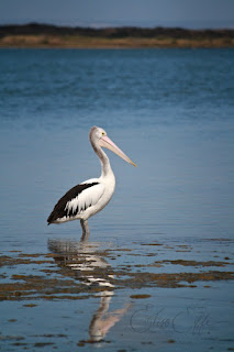 Lone single Pelican Reflection Water Sea
