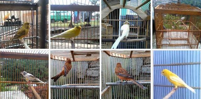 Jenis Burung Kenari yang Bisa Ditemukan di JBKB