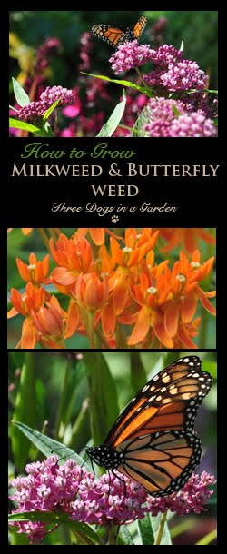 Milkweed & Butterfly Weed–if you plant it, they will come