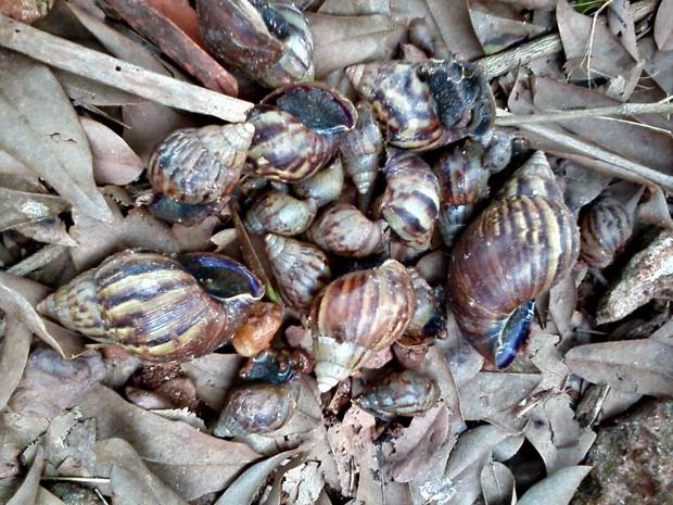 Infestação de caramujos africanos preocupa moradores de Cacoal