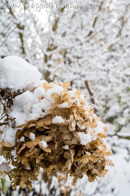 vertrocknete Hortensie mit Schnee