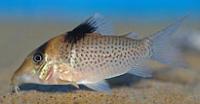 Jenis Ikan Corydoras ephippifer