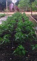 cultivo-ajies-manati
