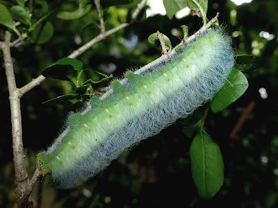 Saturnia (Caligula) thibeta okurai caterpillar