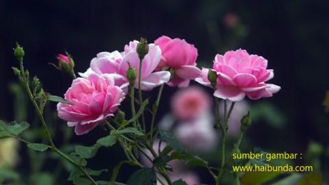 soal persilangan intermediet, persilangan bunga warna merah dan putih, bunga mawar merah muda