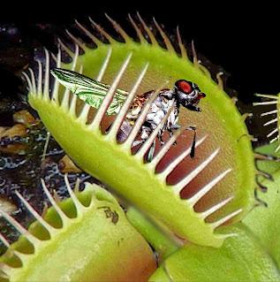 When Venus Flytrap Hunting