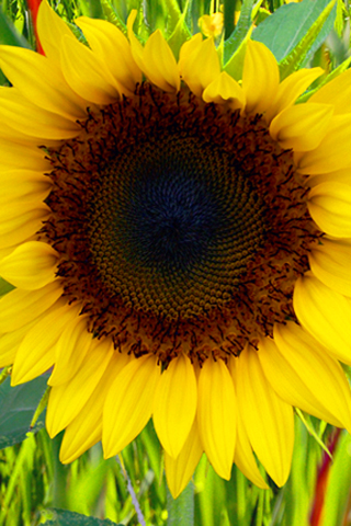 iPhoneZone: 20+ Awesome Sunflower Wallpapers For iPhone