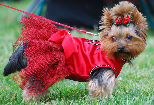 Tennessee  Yorkshire Terrier