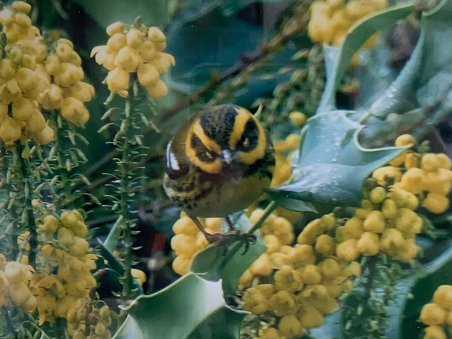 A very round bird sitting on a branch in a bush with clusters of juicy looking pale yellow berries has his head lowered, apparently staring at the camera. He looks like he's about to charge. He is  yellow and black with lone ranger masks around his eyes and thick bands of black down the side of his head and wings.