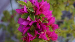 Tanaman Pokok Bunga Kertas (bougainvillea) Sebagai Penyeri Laman