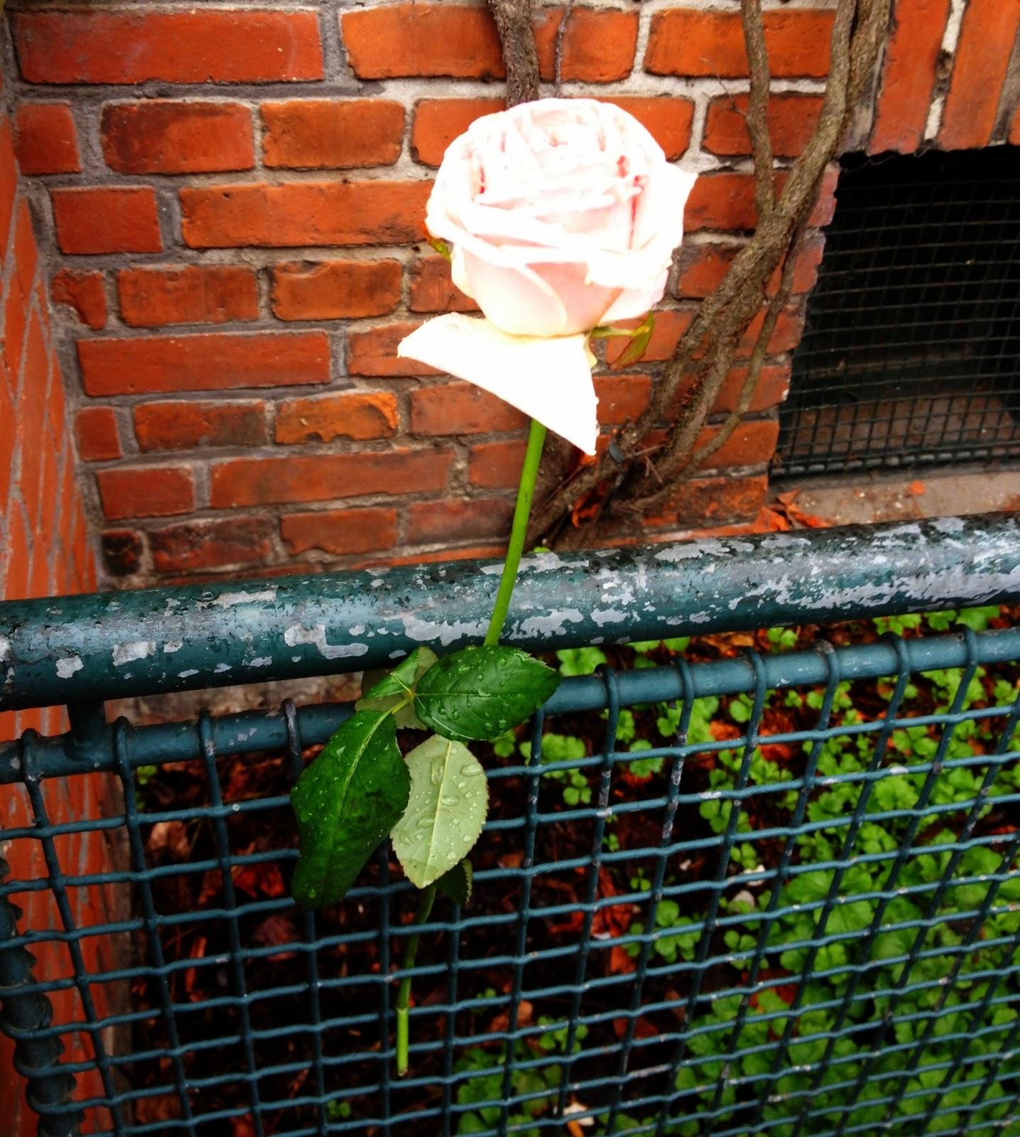 rose, udelukkendelund, blog, blogger, blomst, regnvejr, bryggen, islands brygge, lejlighed, opgang, smil, regnvejr