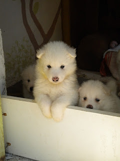 kepribadian anjing samoyed