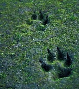Huellas de lobo (canis lupus).