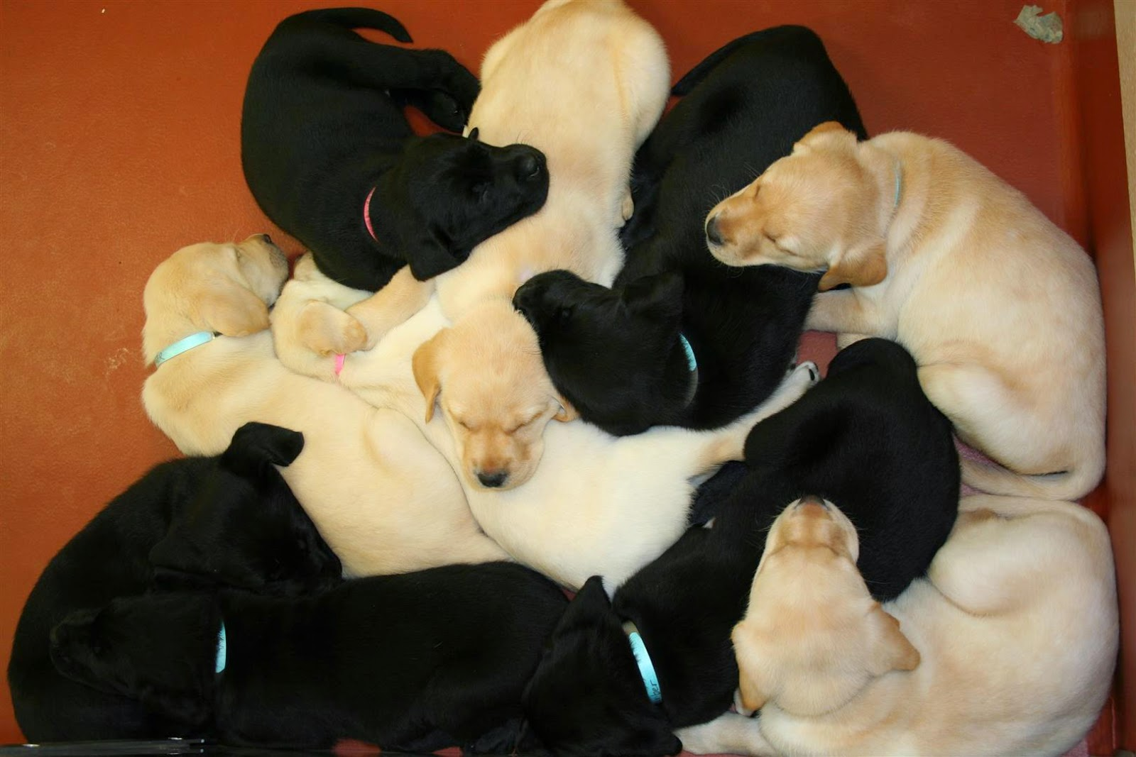 Bunch of sleeping pups, some of which will become service dogs