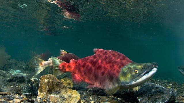 Jenis-Jenis Ikan Salmon