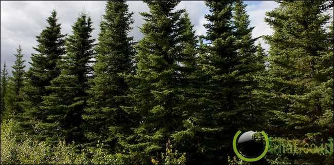 Picea mariana atau black spruce
