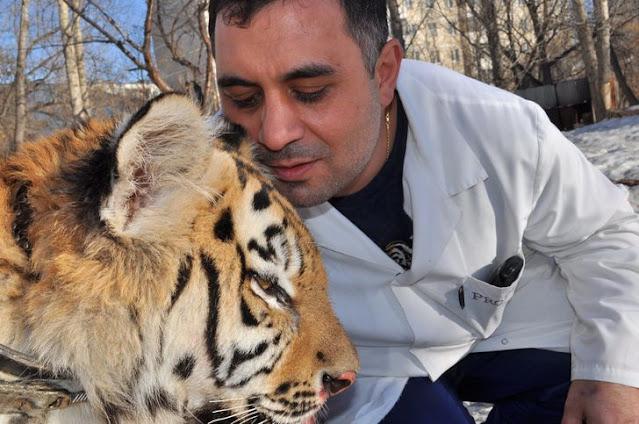 История челябинского ветеринара, который спас покалеченного тигра