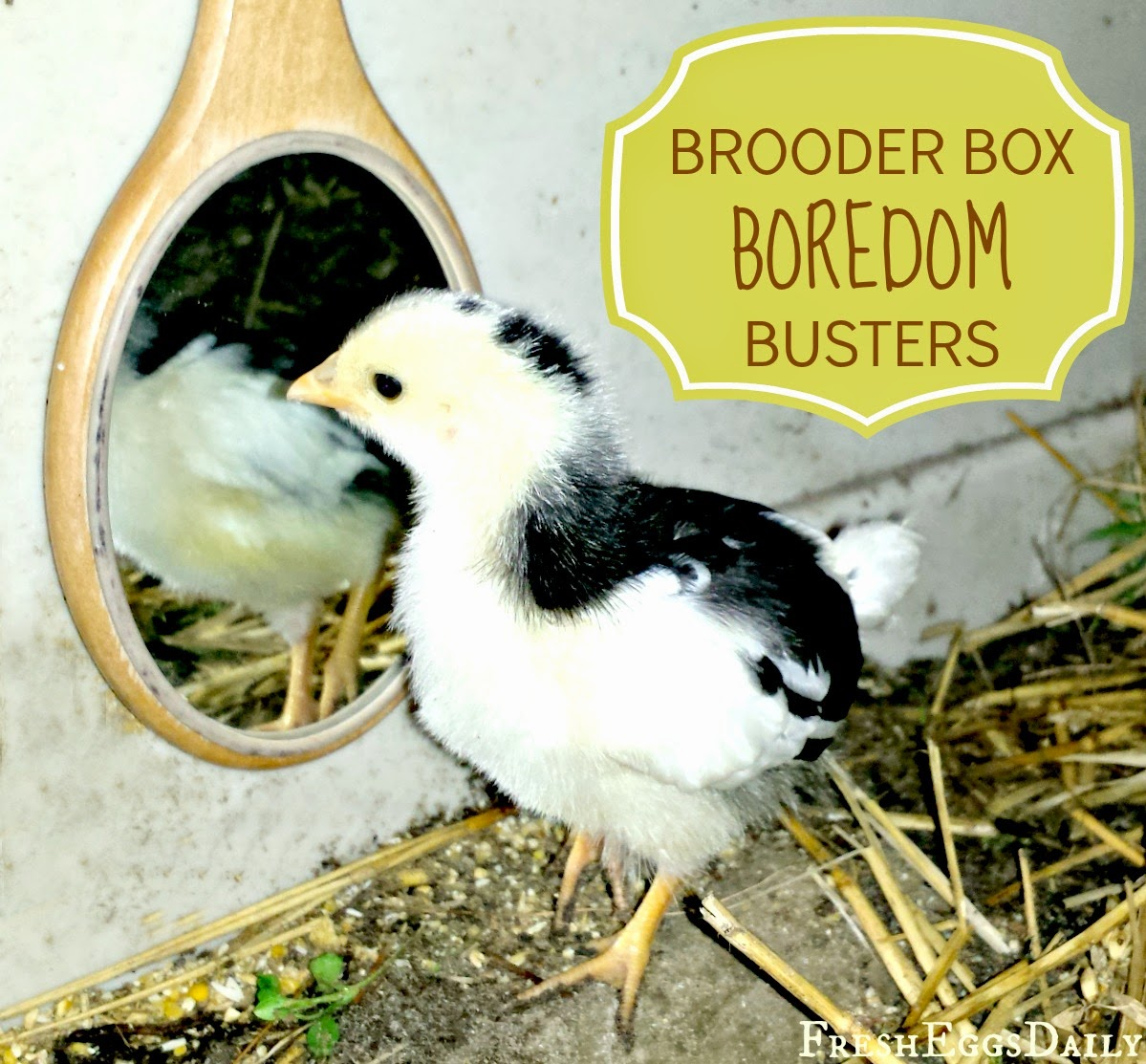 8 Brooder Box Boredom Busters For Baby Chicks Fresh Eggs